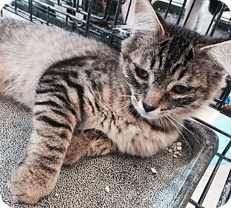Maine Coon Kitten for adoption in Santa Monica, California - Baxter
