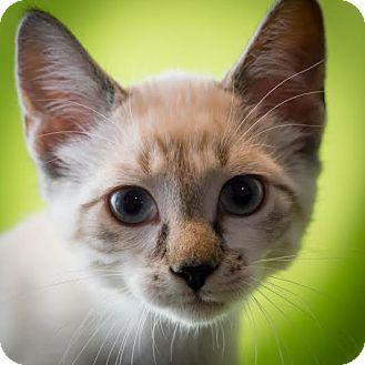 Domestic Shorthair Kitten for adoption in Columbia, Illinois - Dekota