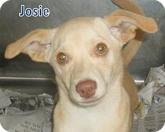 Jack Russell Terrier/Chihuahua Mix Dog for adoption in Walden, New York - Josie