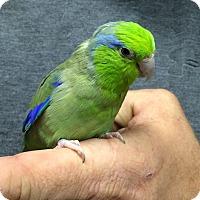 Adopt A Pet :: Genie - Woodbridge, NJ