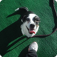 Adopt A Pet :: Penny @ Petsmart in SLO 12/6 - Atascadero, CA