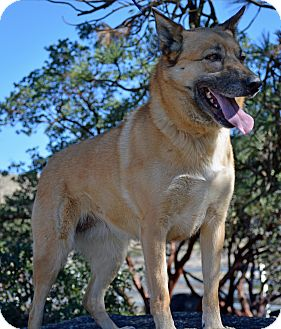 German Shepherd Dog Mix Dog for adoption in Mountain Center, California - Sadie