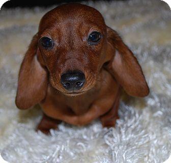 Dachshund Puppy for adoption in Waupaca, Wisconsin - Corky