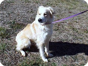 Great Pyrenees/Golden Retriever Mix Dog for adoption in Murphy, North Carolina - Scout