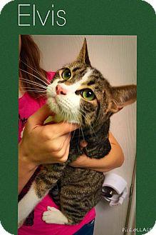 Domestic Mediumhair Cat for adoption in Mansfield, Texas - Elvis