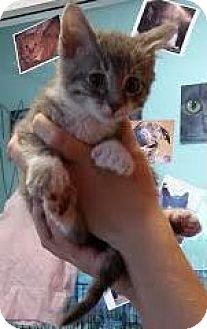 Polydactyl/Hemingway Kitten for adoption in Westminster, California - Annie