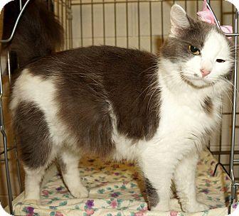 Domestic Mediumhair Cat for adoption in Lexington, North Carolina - Princess