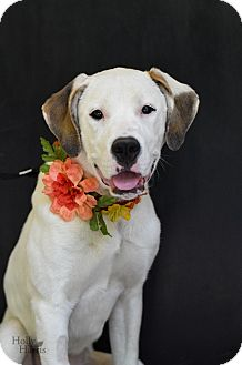 Labrador Retriever Mix Dog for adoption in Baton Rouge, Louisiana - Kate