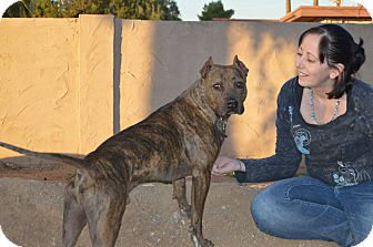 American Pit Bull Terrier/Pit Bull Terrier Mix Dog for adoption in Phoenix, Arizona - Castiel