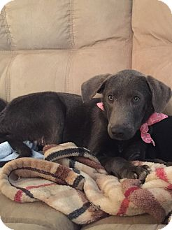 Great Dane/Labrador Retriever Mix Puppy for adoption in New Castle, Pennsylvania - Puppies