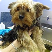 Adopt A Pet :: Piper - Conroe, TX
