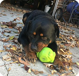 Rottweiler Mix Dog for adoption in Frederick, Pennsylvania - Sampson