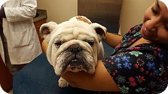 English Bulldog Dog for adoption in Park Ridge, Illinois - Meatball