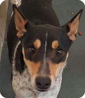 Australian Cattle Dog Mix Dog for adoption in Fort Smith, Arkansas - Fergus
