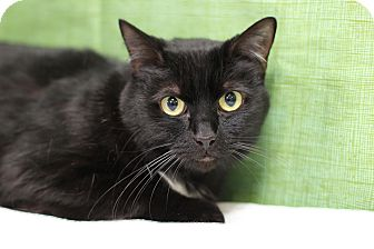 Domestic Shorthair Cat for adoption in Midland, Michigan - Olive - Soldans!