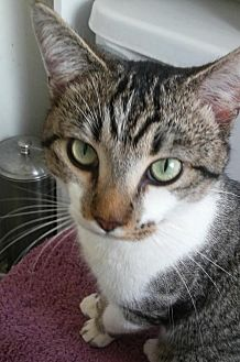Domestic Shorthair Cat for adoption in Fort Lauderdale, Florida - Mr Lee
