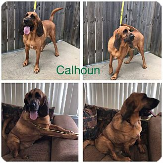 Bloodhound/Mastiff Mix Dog for adoption in Garden City, Michigan - Calhoun