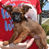 Adopt A Pet :: Tootsie - Simi Valley, CA
