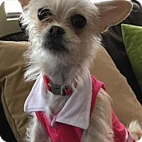 Cairn Terrier/Pug Mix Dog for adoption in Dana Point, California - Lulu