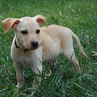 Adopt A Pet :: PUPPY JETSON - richmond, VA
