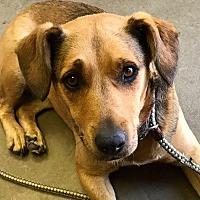 Adopt A Pet :: EDIE - Cadiz, OH