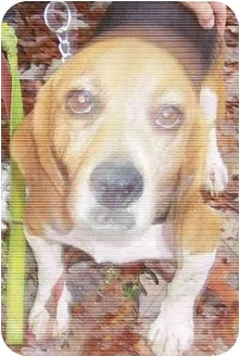 Beagle Dog for adoption in Ventnor City, New Jersey - LOUIE