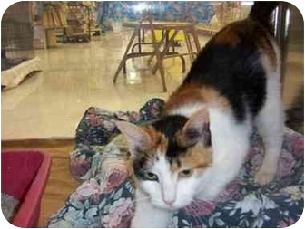 Domestic Shorthair Cat for adoption in San Diego/North County, California - Annie