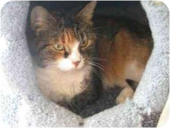 Domestic Shorthair Cat for adoption in Saanichton, British Columbia - Jasmine