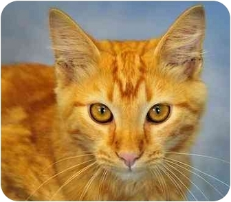 Domestic Longhair Kitten for adoption in Cannelton, Indiana - Pumpkin