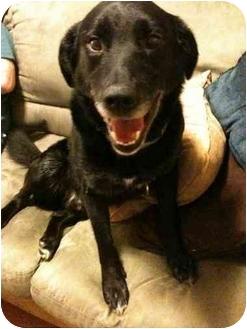 Labrador Retriever Mix Dog for adoption in Portland, Oregon - Bart