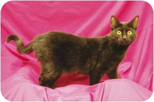 Domestic Shorthair Cat for adoption in Sacramento, California - Lois