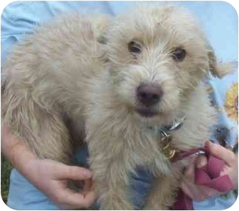 Cockapoo Mix Dog for adoption in Somerset, Pennsylvania - Howie