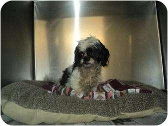 Shih Tzu Dog for adoption in Buffalo, New York - Bobo