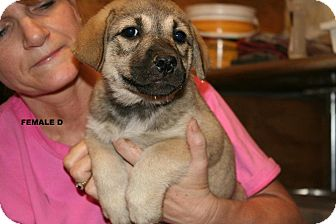 Great Pyrenees Mix Puppy for adoption in Westfield, Massachusetts - Langston