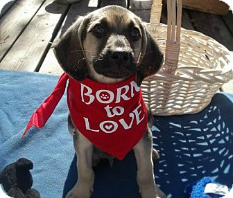 Hound (Unknown Type) Mix Puppy for adoption in Conway, Arkansas - Astro - Born To Love