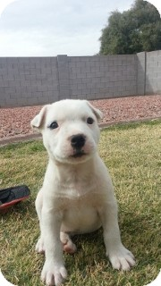 American Pit Bull Terrier/Boxer Mix Puppy for adoption in Litchfield Park, Arizona - Snow - Only $95 adoption!