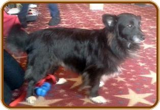 Corgi/Dachshund Mix Dog for adoption in COLUMBUS, Ohio - Munchkin