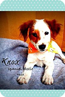 Springer Spaniel/Dachshund Mix Puppy for adoption in Groton, Massachusetts - Knox