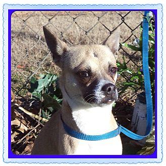 Chihuahua Mix Dog for adoption in Marietta, Georgia - BEETLE (R)