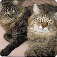 Adopt A Pet :: Sayuri - Mesa, AZ