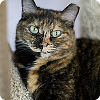 Domestic Shorthair Cat for adoption in Grayslake, Illinois - Sunday