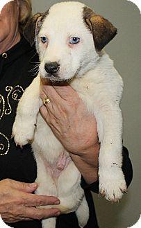 Siberian Husky Mix Puppy for adoption in Marble, North Carolina - Kosmo