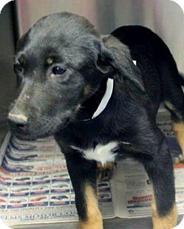 Australian Shepherd/Labrador Retriever Mix Puppy for adoption in Naugatuck, Connecticut - Kelsey