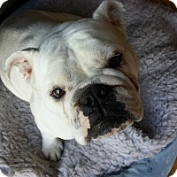 Adopt A Pet :: Nuglet - Chicago, IL