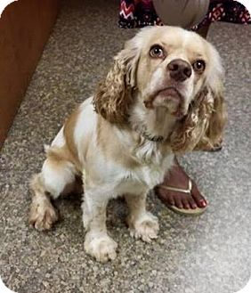 Cocker Spaniel Dog for adoption in waterbury, Connecticut - Fred Fred