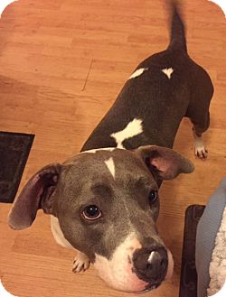American Staffordshire Terrier/Hound (Unknown Type) Mix Dog for adoption in Boiling Springs, Pennsylvania - Penni