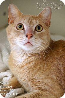 Domestic Shorthair Cat for adoption in Newnan City, Georgia - Sailor