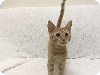 Domestic Shorthair Kitten for adoption in Mission Viejo, California - Calvin