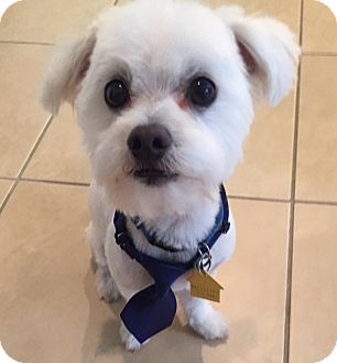 Maltese Mix Dog for adoption in Rigaud, Quebec - Charlie