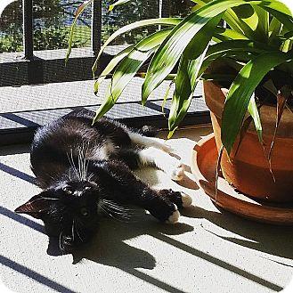 Domestic Shorthair Kitten for adoption in Tampa, Florida - Hudson